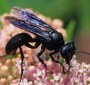 spider_wasp_adult