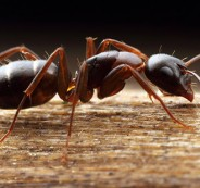 carpenter_ant